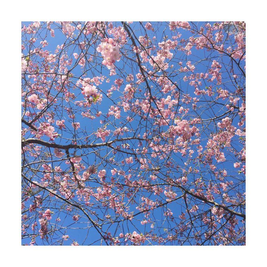 Arabellapark at its best cherryblossom spring kirschblten