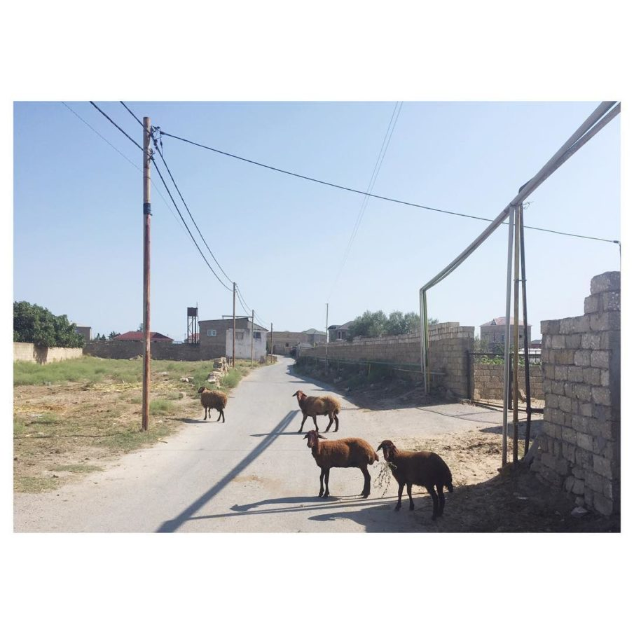 e My new neighbours Azeri sheeps baku azerbaijan